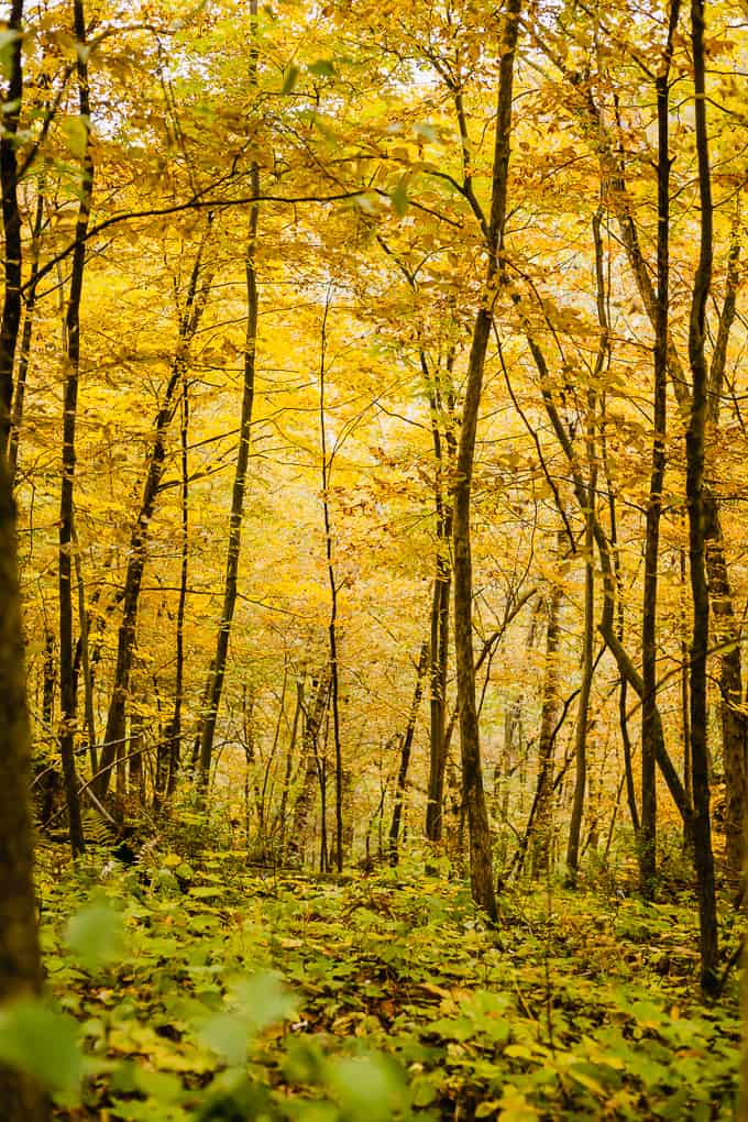 A fall forest with tall, skinny trees with yellow leaves